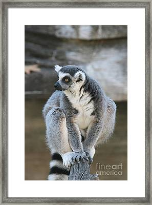 Framed Print featuring the photograph Ring-tailed Lemur #3 by Judy Whitton