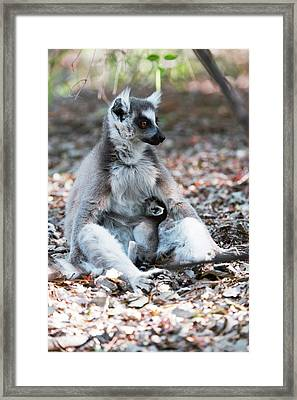 Ring-tailed Lemur And Baby Framed Print