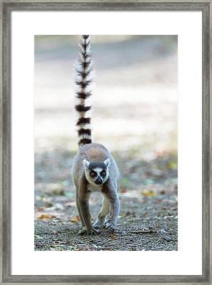 Ring-tailed Lemur Framed Print