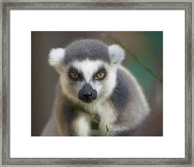 Ring Tailed Lemur Framed Print