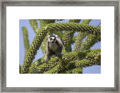 Ring-tailed Lemur In Octopus Tree Framed Print by Suzi Eszterhas