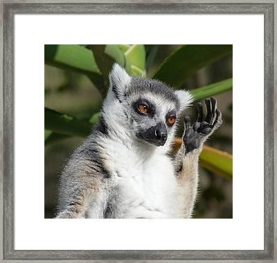 Ring-tailed Lemur In Sunshine  Framed Print by Margaret Saheed