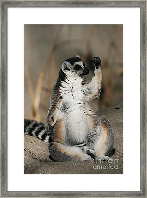 Framed Print featuring the photograph Ring-tailed Lemur by Judy Whitton