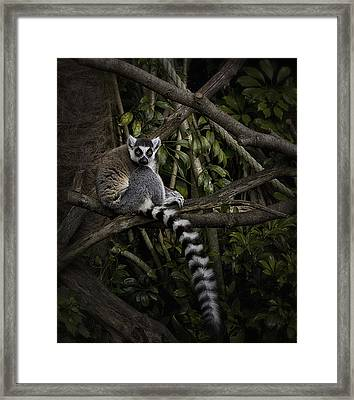 Framed Print featuring the photograph Ring Tailed Lemur by Kim Andelkovic