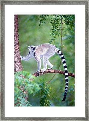 Ring-tailed Lemur Lemur Catta Climbing Framed Print