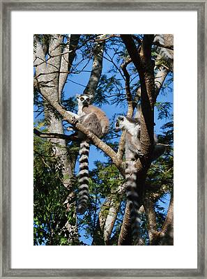 Ring Tailed Lemur (lemur Catta Framed Print by Keren Su
