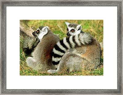 Ring-tailed Lemur Lemur Catta Pair Framed Print by Millard H. Sharp