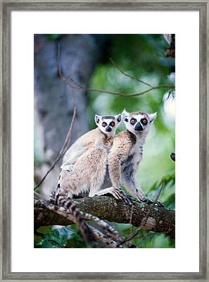Ring-tailed Lemur Lemur Catta Framed Print