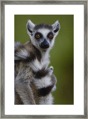 Ring-tailed Lemur Portrait  Berenty Framed Print