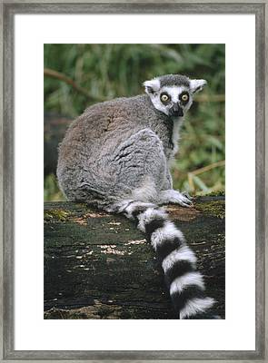 Ring-tailed Lemur Portrait Madagascar Framed Print by Gerry Ellis