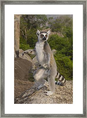 Ring-tailed Lemur Standing Madagascar Framed Print