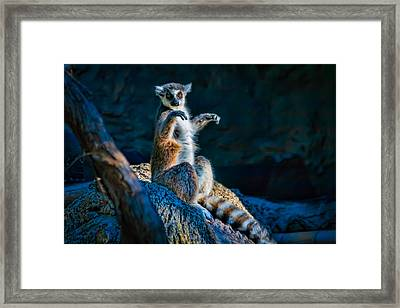 Ring-tailed Lemur Framed Print by Tim Stanley