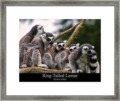 Ring Tailed Lemurs Framed Print