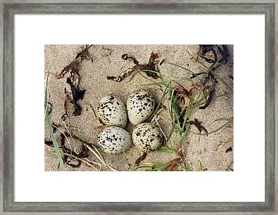 Ringed Plover Eggs Framed Print