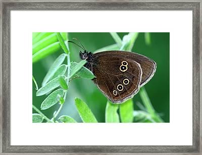 Ringlet Butterfly Framed Print