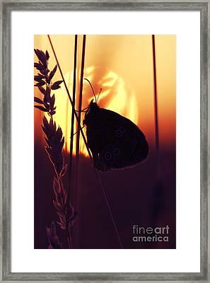Ringlet Butterfly Sunset Silhouette Framed Print