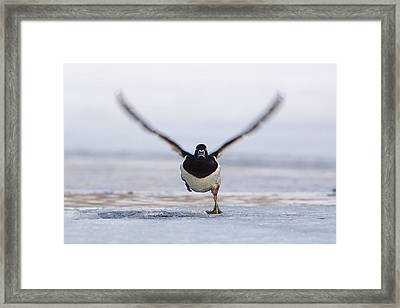 Ringneck Duck Running Take Off  Framed Print