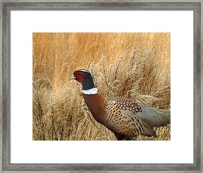 Ringneck Pheasant  Framed Print