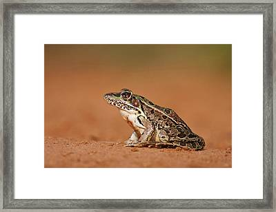 Rio Grande Leopard Frog (rana Pipiens Framed Print by Larry Ditto
