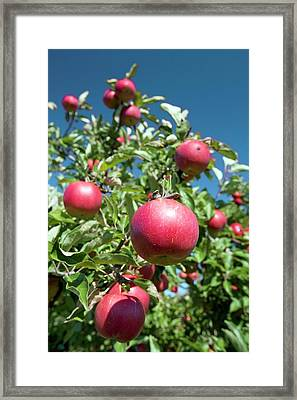 Ripe Apples In A Orchard Framed Print