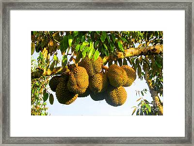 Ripe Durian Cluster Framed Print by Tina M Wenger