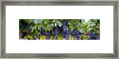 Ripe For The Picking Framed Print