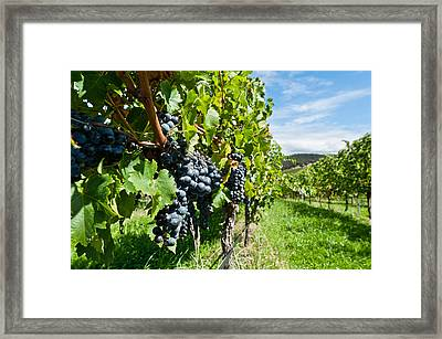Ripe Grapes Right Before Harvest In The Summer Sun Framed Print by Ulrich Schade