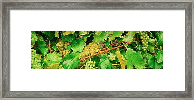 Ripe Green Grapes On The Vine, Quebec Framed Print by Panoramic Images