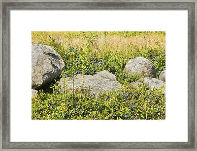 Ripe Maine Low Bush Wild Blueberries Framed Print by Keith Webber Jr