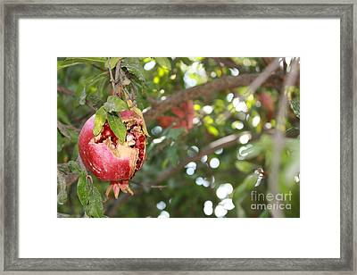 Framed Print featuring the photograph Ripe Pomegranate by Julie Alison