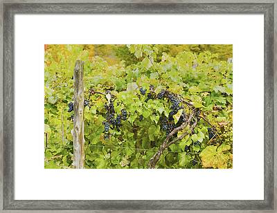 Ripe Purple Grapes On Vine In Maine Framed Print