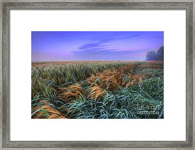 Ripening Barley At Dawn Framed Print