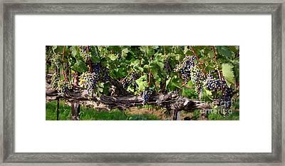 Ripening Grapes Framed Print by Carol Groenen