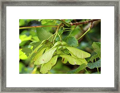 Ripening Sycamore Fruit Framed Print by Bob Gibbons