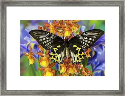 Rippon's Birdwing Butterfly, Female Framed Print