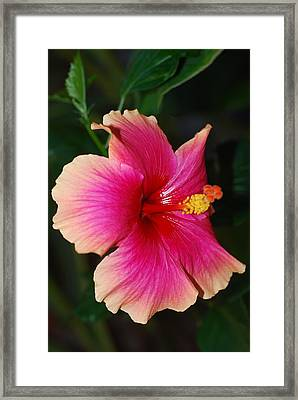 Rise And Shine - Hibiscus Face Framed Print by Connie Fox