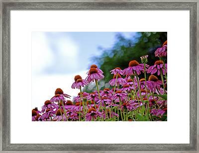 Rising Echinacea Framed Print