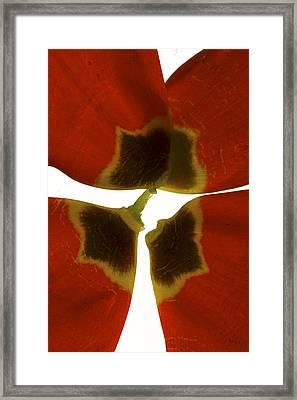 Rittenhouse Tulip I Framed Print