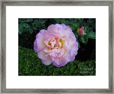 Ritzy Pink Rose Framed Print