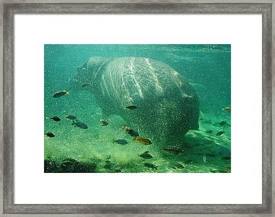 Framed Print featuring the photograph River Horse by David Nicholls