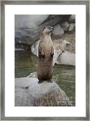 River Otter Framed Print by David Gordon