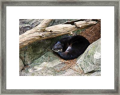 River Otter Resting Framed Print by Chris Flees