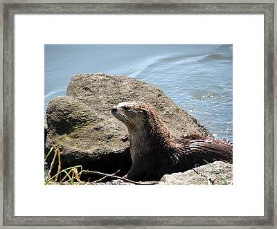 River Otter Sunning By The Lake Framed Print by Gayle Swigart