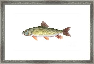 River Redhorse Moxostoma Carinatum Framed Print by Carlyn Iverson