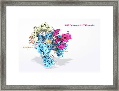 Rna Polymerase II And Tfiib Framed Print by Ramon Andrade 3dciencia