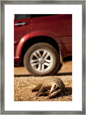 Road Kill - Badger Framed Print by Photostock-israel