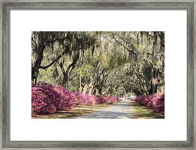 Road With Azaleas And Live Oaks Framed Print