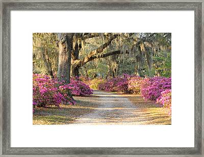 Road With Live Oaks And Azaleas Framed Print