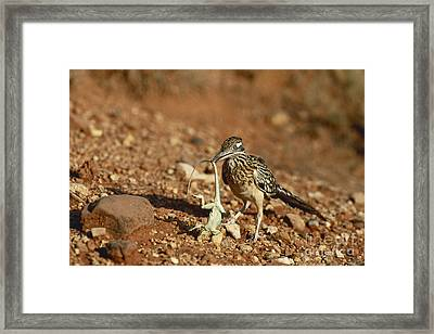 Roadrunner With Lizard Framed Print by Wyman Meinzer/Okapia