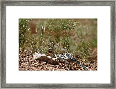 Roadrunner With Snake Framed Print by Wyman Meinzer/Okapia